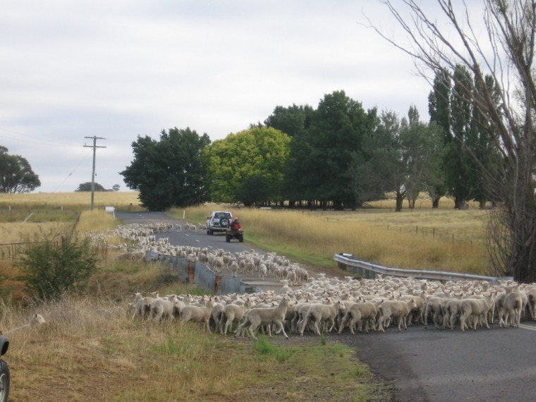 sheep-droving